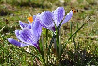 pierwsza pszczoła wiosny nie czyni…