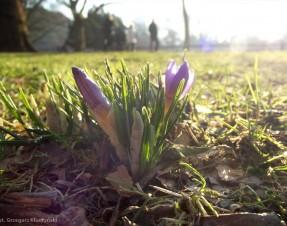 Krokusy mówią nam, że wiosna tuż tuż…
