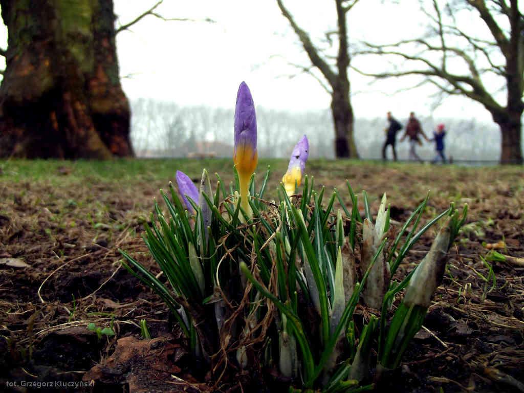 Krokusy na Jasnych Błoniach, czyli odrobina wiosny w styczniu